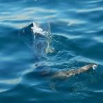 カツオでサメ水族館~結節の補強~(2014/11/15)