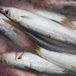 どこまで進化する!?~カマス釣り新釣法~(2015/04/06)